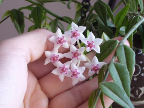 Hoya Bella blossom